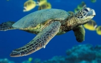 folly-sea-turtle